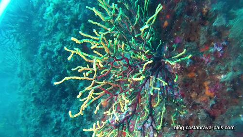 Plongée à l'illa de Fito, Begur, costa Brava (3)