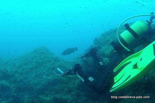 merou brun plongée iles medes