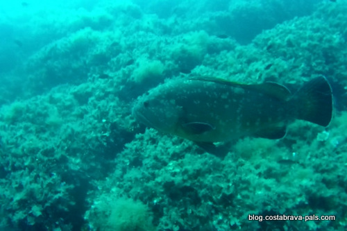 merou brun iles medes (3)