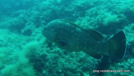 merou brun iles medes (4)