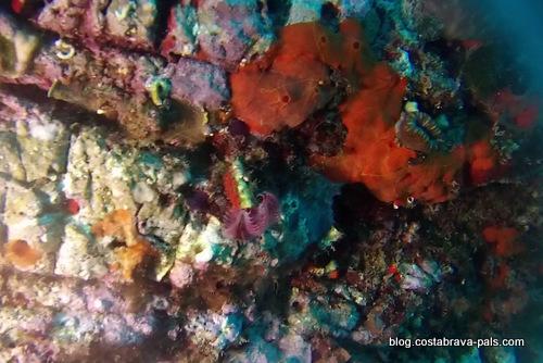 plongée entre Cap sa sal et Aiguafreda begur (21)