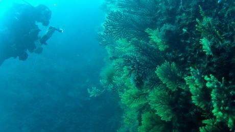 gorgones de Méditerranée