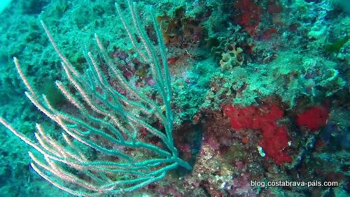 gorgones-de-mediterranee-7