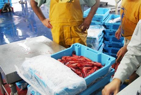 pêche des Gambas de Palamos