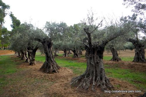 Les oliviers centenaires de Platja de Castell sur la Costa Brava