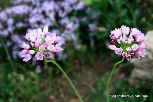 randonnée autour du Castell de Montgri - fleurs