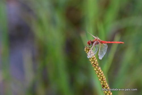 Balade dans les rizières de Pals libellule