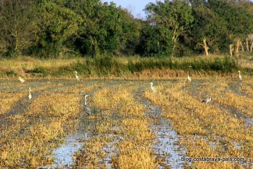 Balade dans les rizières de Pals - hérons