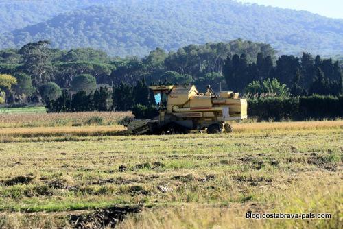 Balade dans les rizières de Pals - moisson