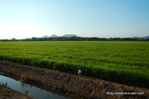 les rizières de Pals