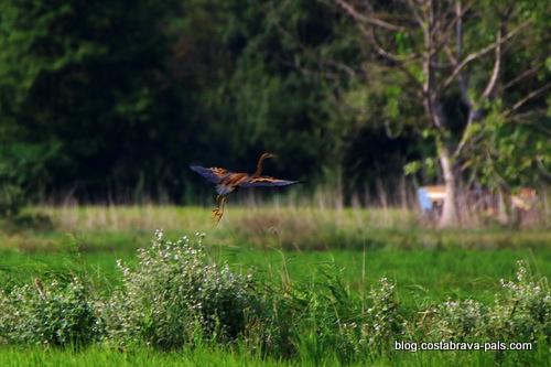 Balade dans les rizières de Pals- héron brun