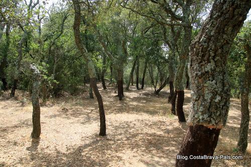Romanya de la selva - forêt de chênes liège