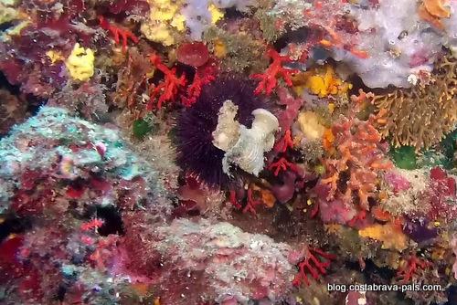 corail rouge de la Costa Brava