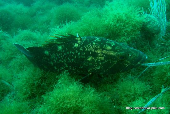mérou brun iles Medes, l'estarit costa brava