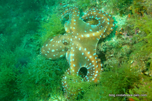 plongee costa brava Llafranc triton diving